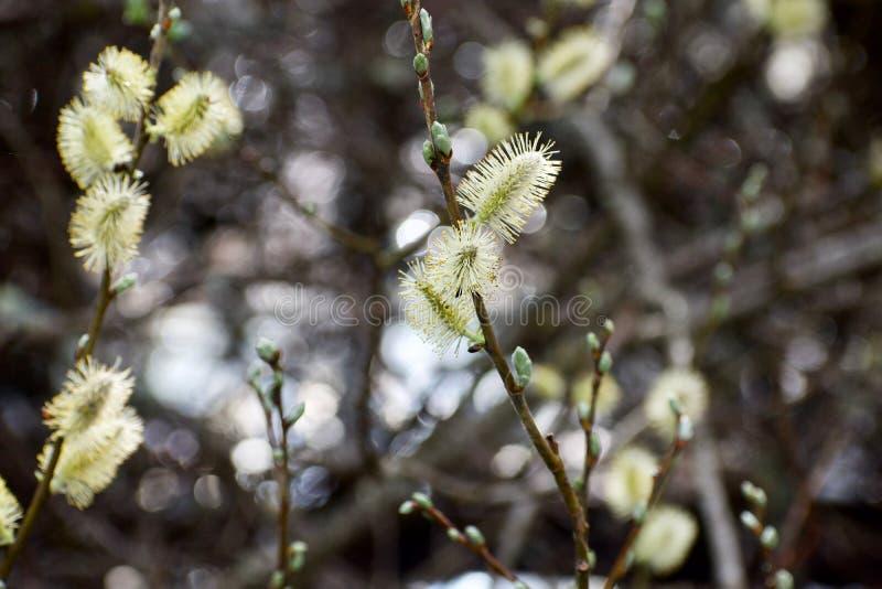 在紧密杨柳枝杈的褪色柳与水闪闪发光从后边沼泽的 免版税库存图片
