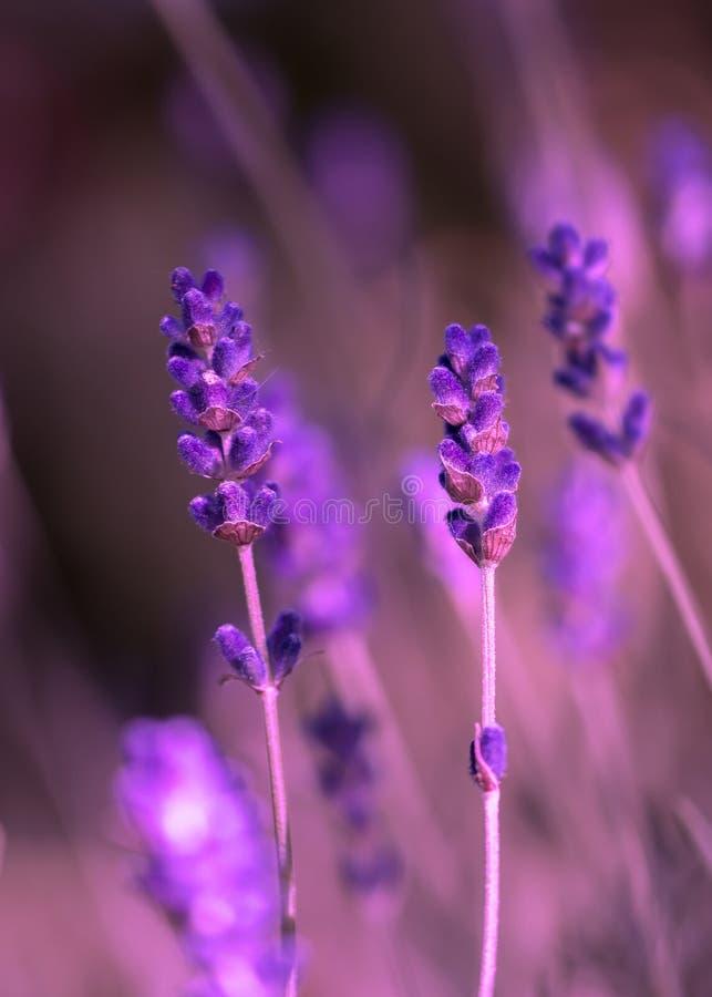 在紫罗兰色特写镜头的紫外淡紫色 库存图片