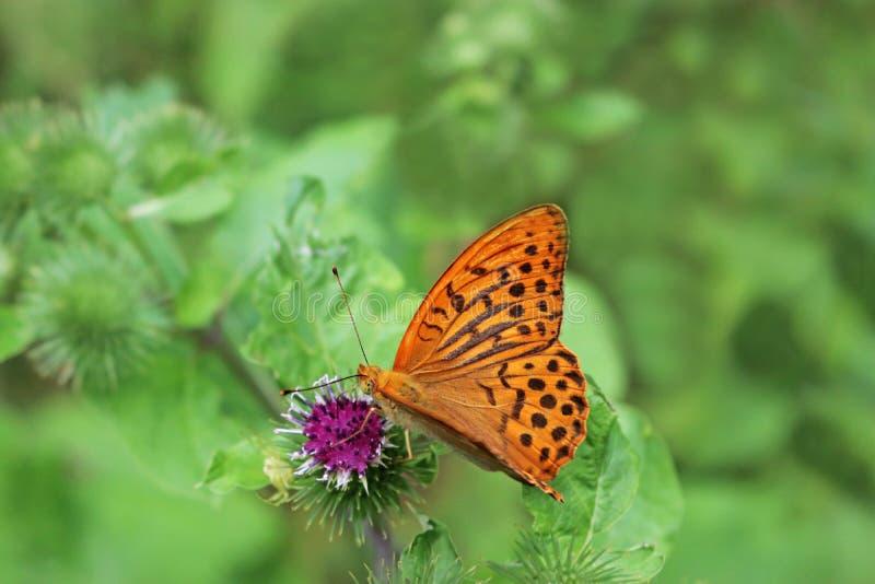 在紫色开花的贝母蝴蝶 免版税库存照片