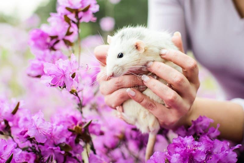 在紫色杜娟花开花,春节的花梢鼠2020年 库存图片