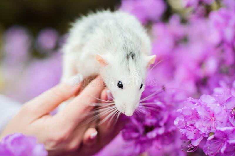 在紫色杜娟花开花,春节的花梢鼠2020年 免版税库存图片