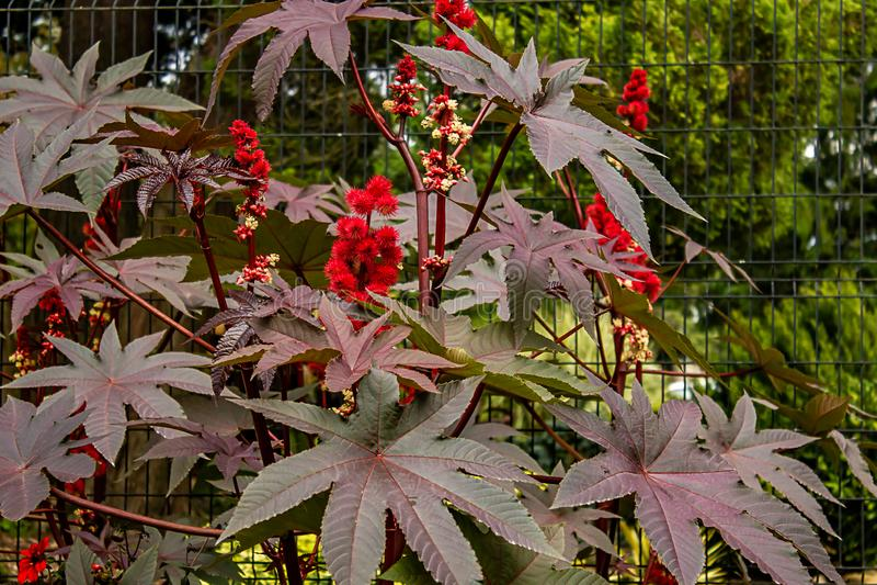 在紫色植物的圆的红色绽放在夏天庭院里 免版税库存照片