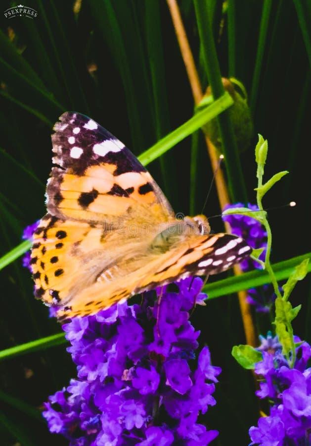 在紫色淡紫色的橙色蝴蝶 库存照片