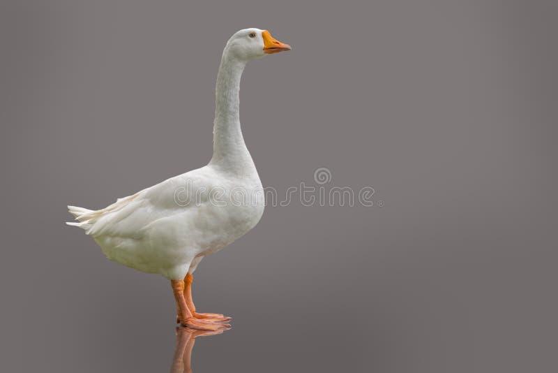 在紫色灰色背景隔绝的白色家养的鹅 图库摄影
