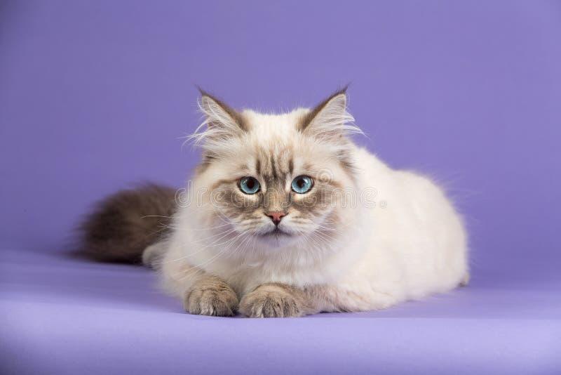 在紫色的惊人的西伯利亚猫 库存图片