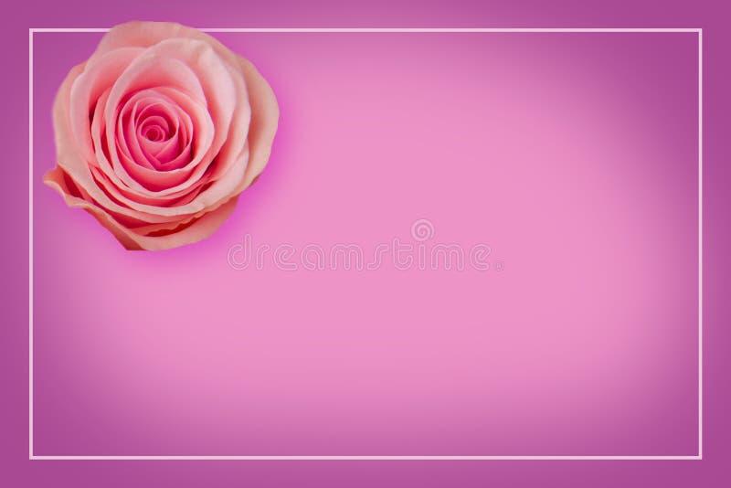 在紫色背景模板的桃红色玫瑰与拷贝空间 问候的空白 皇族释放例证