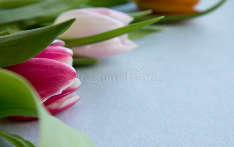 在紫色背景的春天郁金香 库存图片