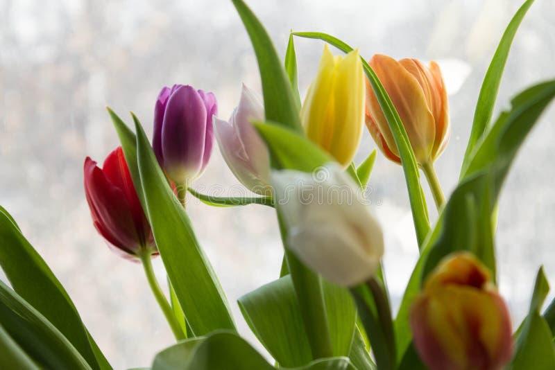 在紫色背景的春天郁金香 图库摄影