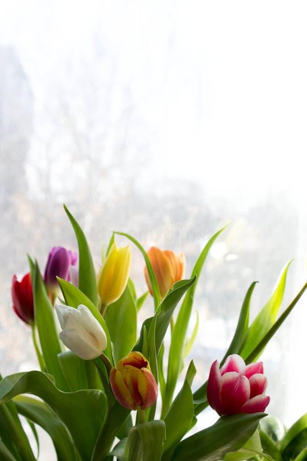 在紫色背景的春天郁金香 免版税库存图片