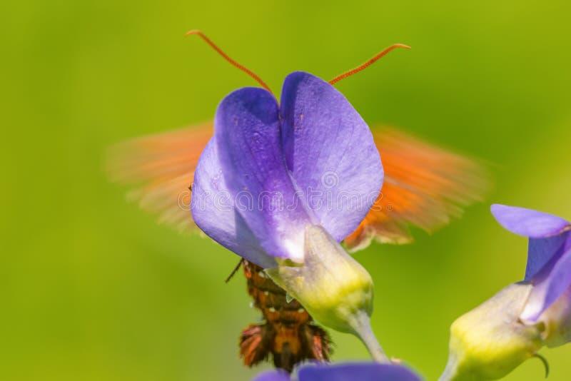 在紫色花后的白天飞蛾翼 免版税库存图片