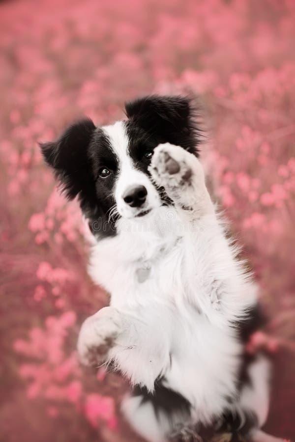 在紫色花田的黑博德牧羊犬 免版税图库摄影