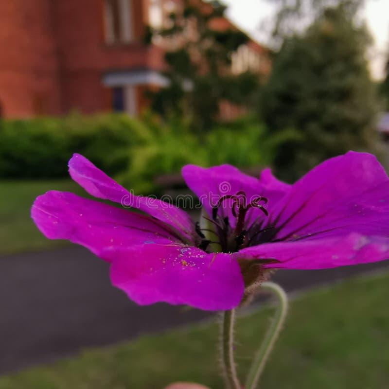 在紫色花的宏指令有迷离背景 库存照片