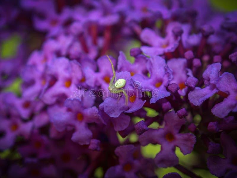 在紫色蝴蝶灌木丛的微小的白色蜘蛛 库存图片