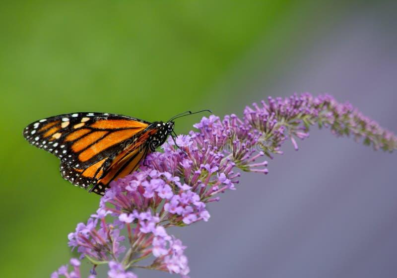 在紫色蝴蝶灌木丛花的黑脉金斑蝶 库存照片