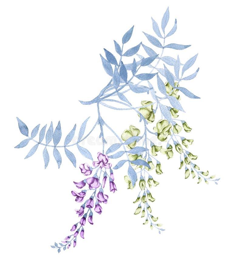 在紫藤的分支的花 背景查出的白色 库存例证