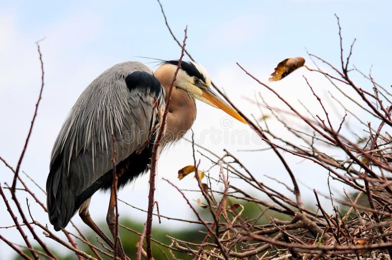 在繁殖的全身羽毛的伟大蓝色的苍鹭的巢在巢在佛罗里达 库存照片