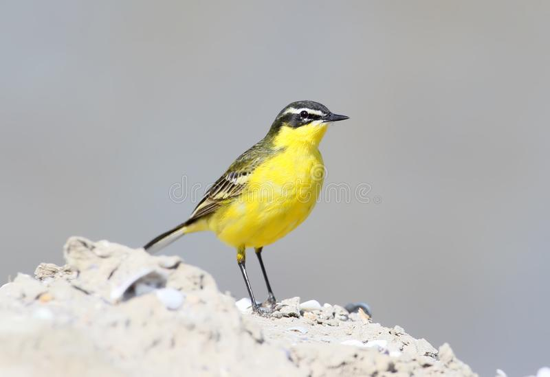 黄色图成人_图片 包括有 黄色, 通风, 春天, 全身羽毛, 题头, 成人 - 102009983