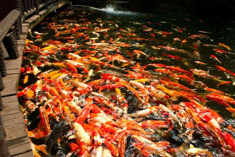 Koi鱼在庭院的池塘 免版税库存照片