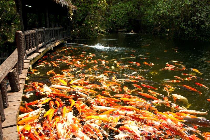 Koi鱼在庭院的池塘 免版税库存图片
