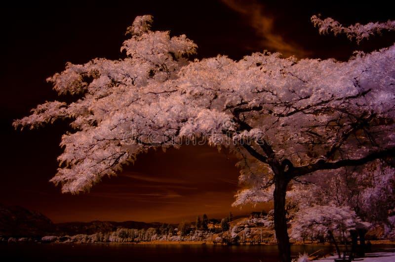 在红外线,一白色有叶的射击 镶有钻石的旭日形首饰的蜂蜜loctus树看构筑海滩和黑暗的天空在背景中的一个海湾 库存照片