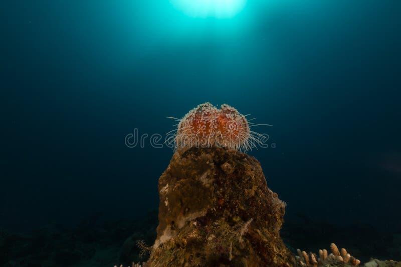 在红海解雇野孩子(asthenosoma marisrubri) 免版税库存图片