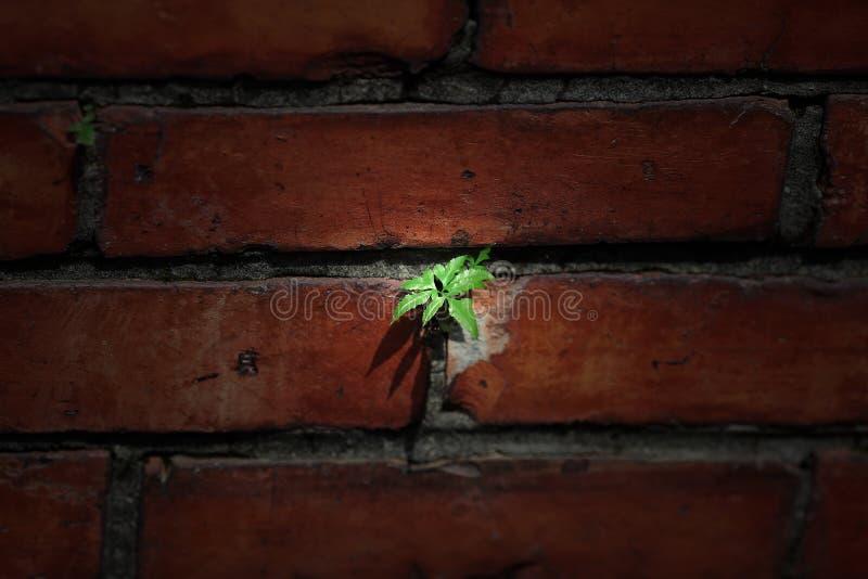 在红砖墙壁上的强的新的生活 免版税库存图片