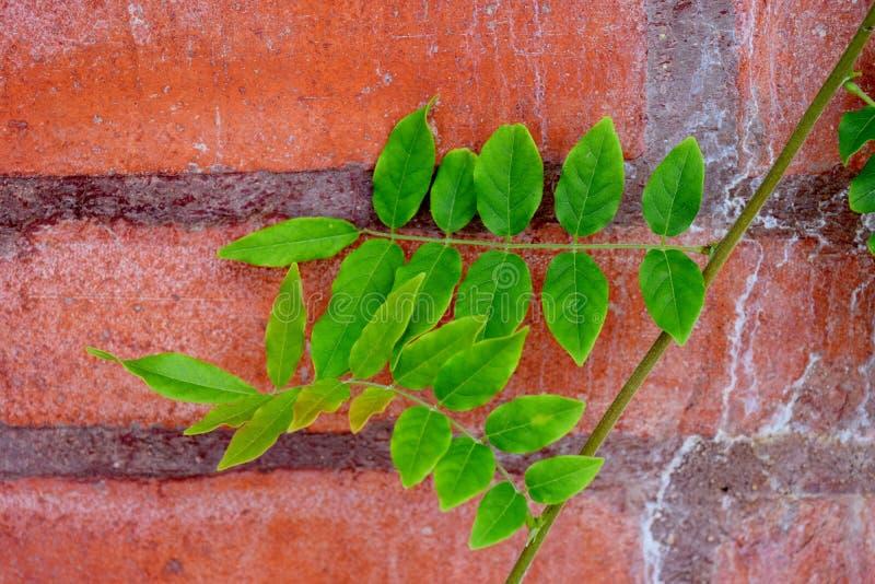 在红砖墙壁上的鳍类的叶子 免版税库存图片
