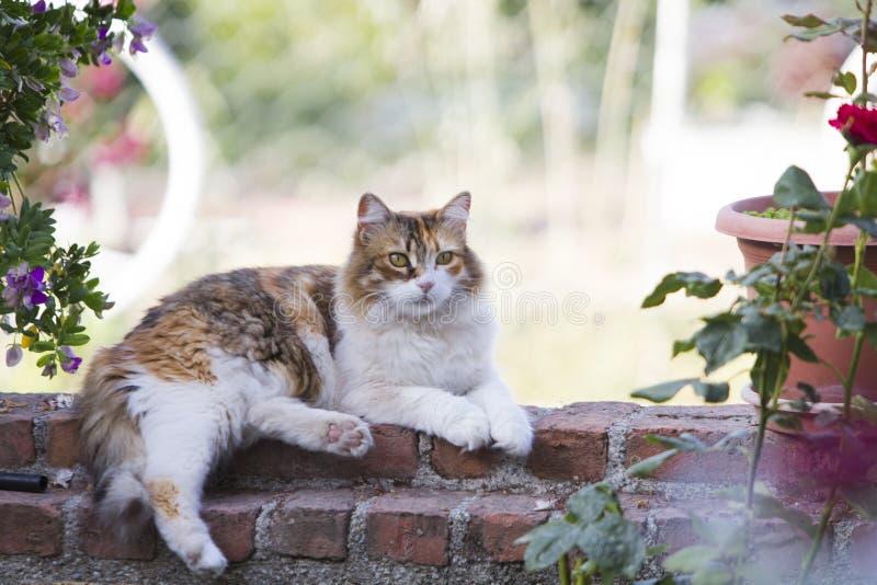 在红砖庭院墙壁上解扣的一可爱毛茸三色杂色猫说谎的充分的身体外形 免版税库存图片