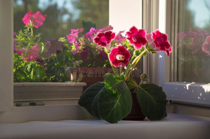 在红色充分的成长,桃红色花大岩桐,风轮草, Sinni的照片 免版税库存图片