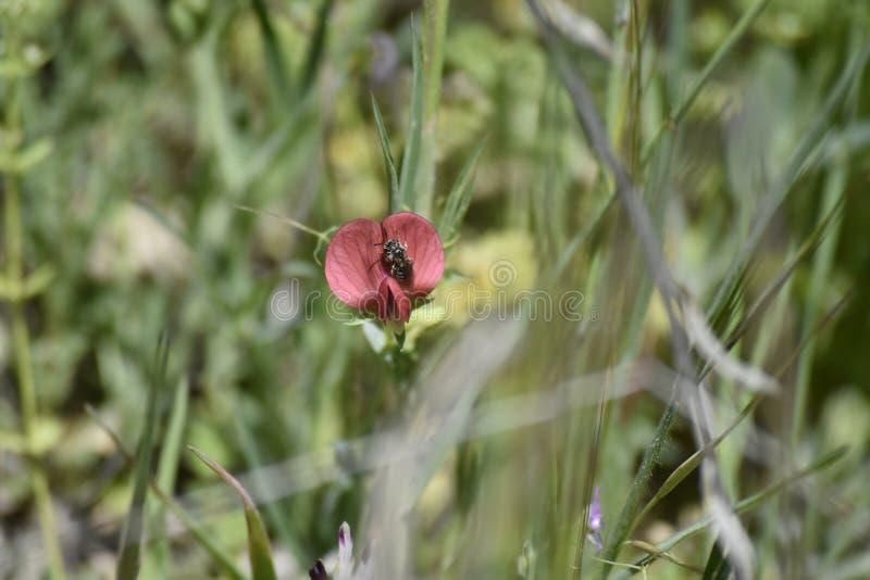 在红色兰花授粉的花粉的黄蜂 免版税库存照片