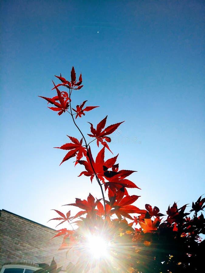在红色叶子后的太阳光 库存图片