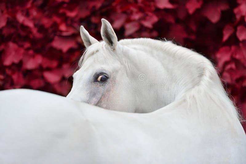 在红色叶子背景的白色阿拉伯马画象 免版税库存照片