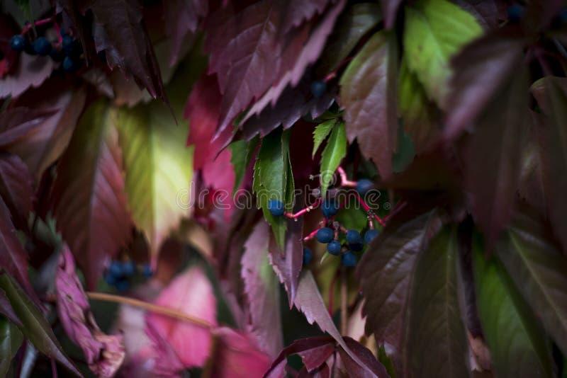在红色叶子背景,秋天墙纸的蓝色狂放的葡萄 库存图片