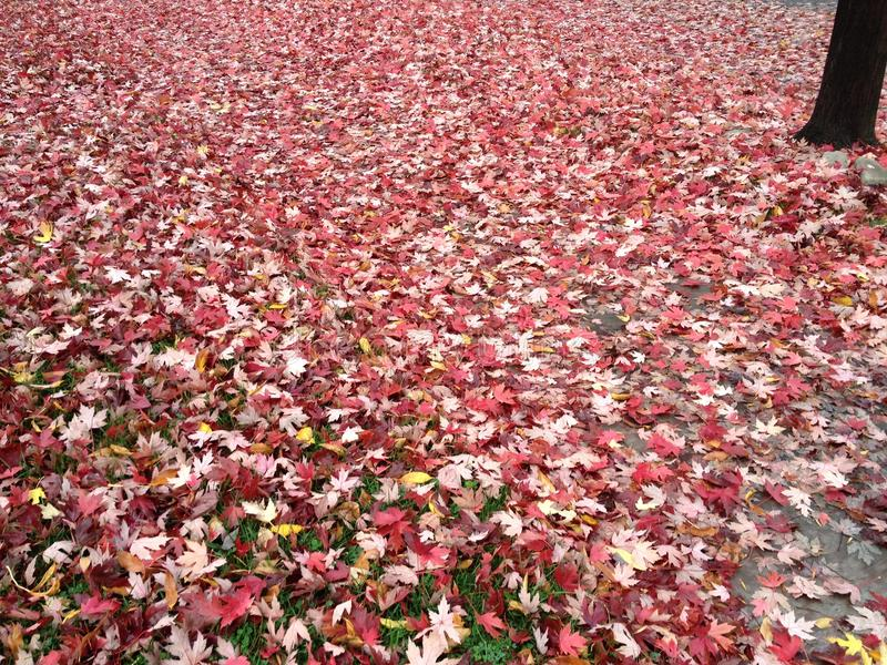 在红色叶子-报道的秋天 库存图片