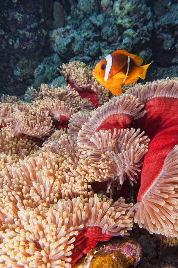 在红色和棕色银莲花属的小丑鱼在黑背景 库存照片