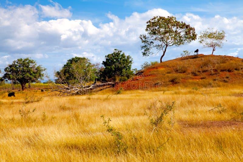 在红色土壤的母牛在古巴环境美化 库存照片