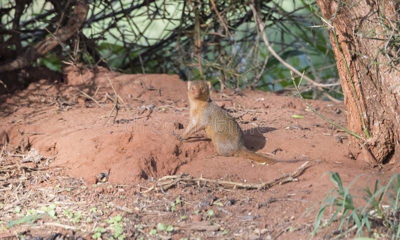 在红色土的矮小的猫鼬Helogale parvula在坦桑尼亚 图库摄影