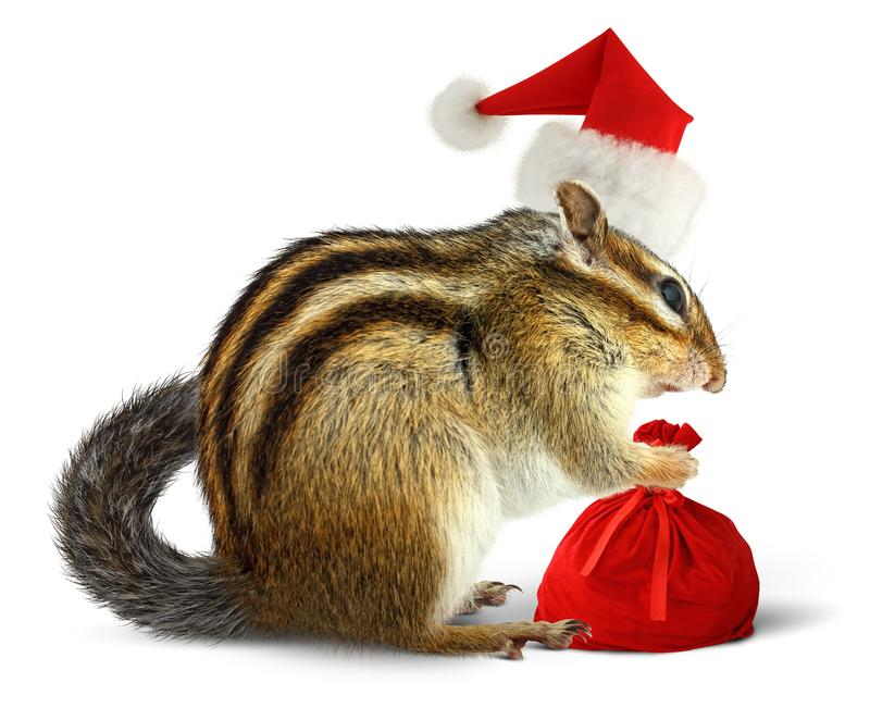 在红色圣诞老人帽子的与礼物的花栗鼠和袋子在白色后面 库存图片