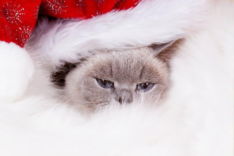 在红色圣诞老人盖帽的圣诞节猫 英国猫颜色青po 免版税库存照片