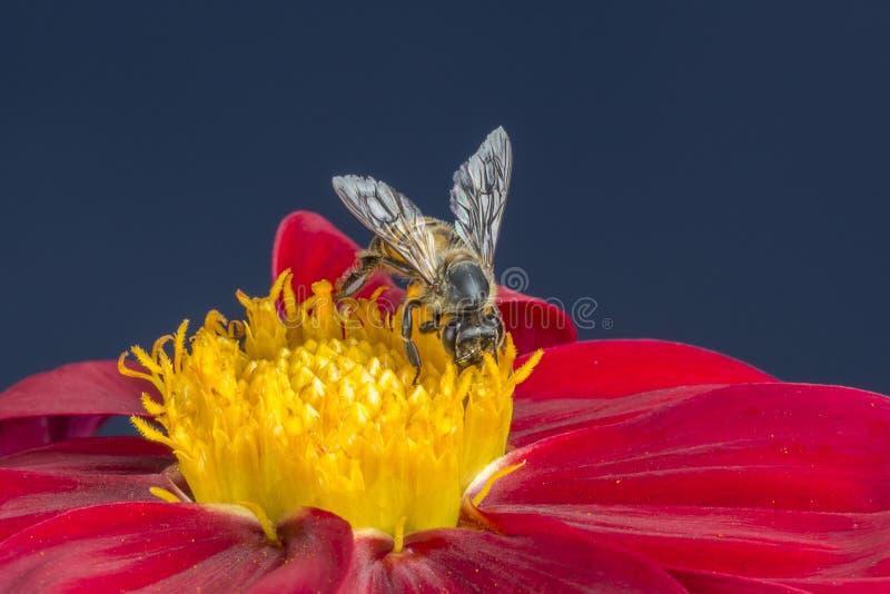 在红色大丽花花的蜂与发光的翼 免版税库存照片