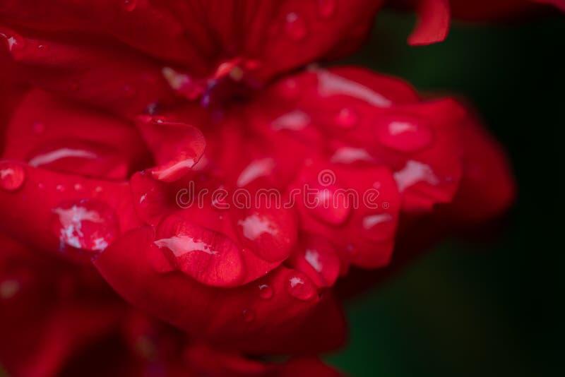 在红色大竺葵瓣的水滴 库存照片