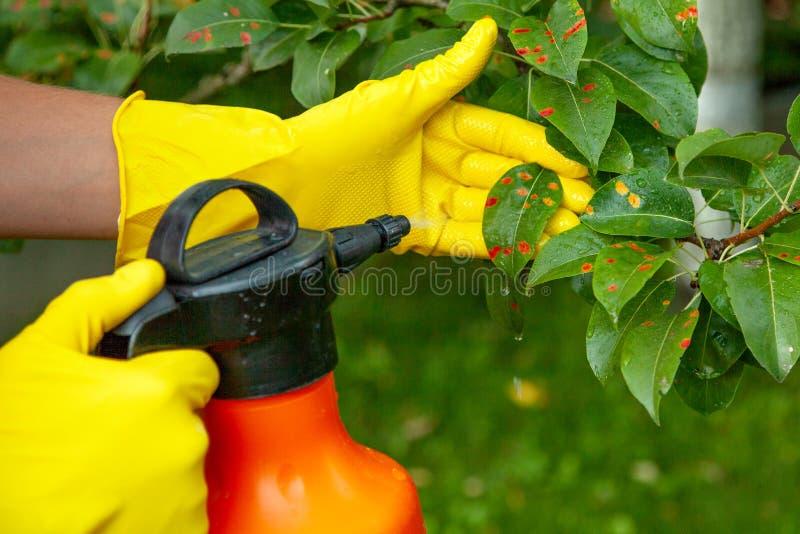 在红色小点的梨叶子 花匠洒害病的树叶子反对真菌和虫 免版税图库摄影