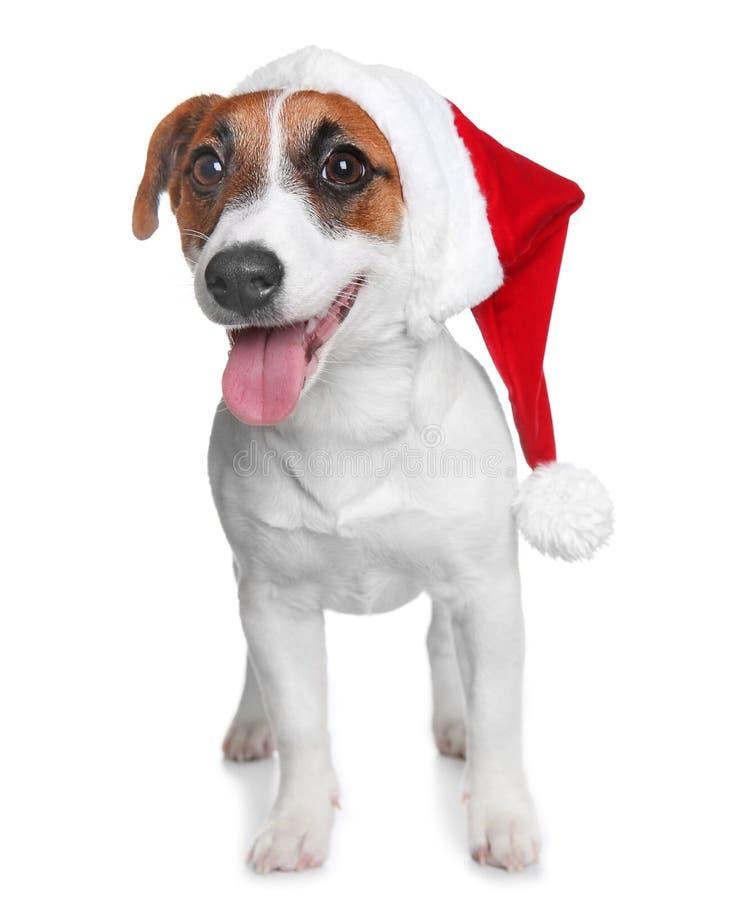 在红色帽子和礼物盒的逗人喜爱的杰克罗素狗,隔绝在白色 库存照片
