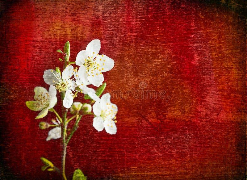 在红色木背景的樱桃花 免版税库存照片