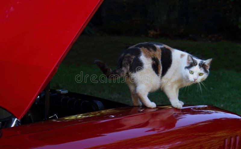 在红色汽车敞篷的猫  库存照片