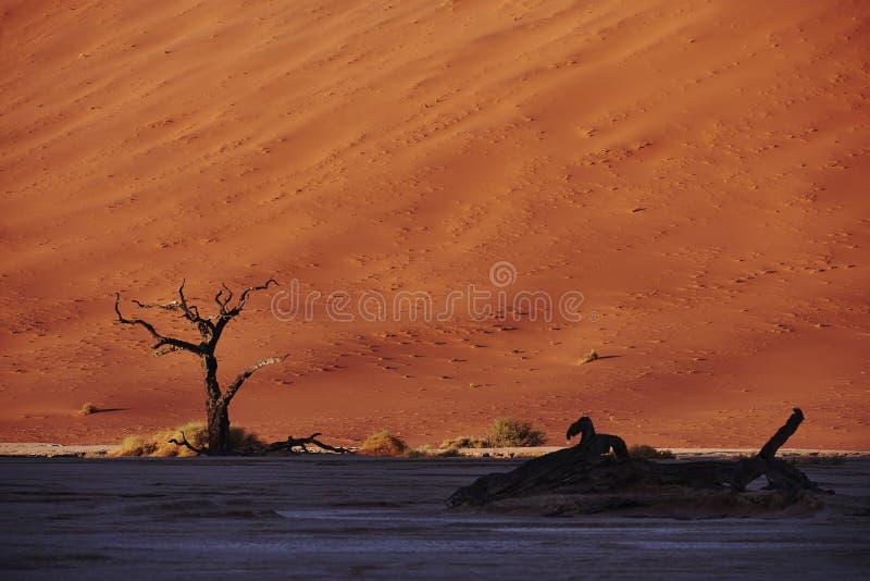在红色沙丘前面的死的树 库存照片