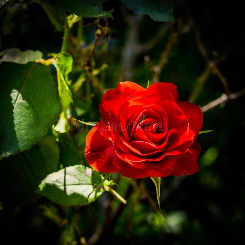 在红色玫瑰的特写镜头 免版税库存照片