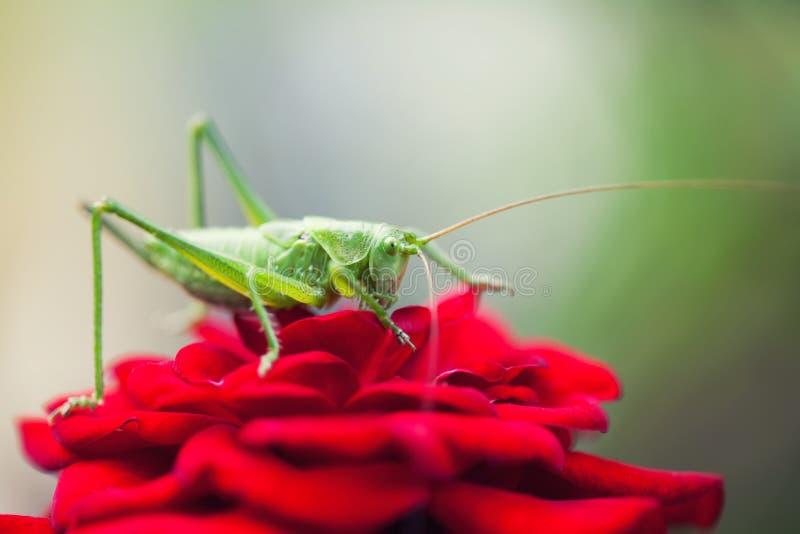 在红色玫瑰花瓣的蚂蚱 特写镜头照片伟大的绿色布什蟋蟀Tettigonia viridissima 昆虫宏指令视图 库存图片