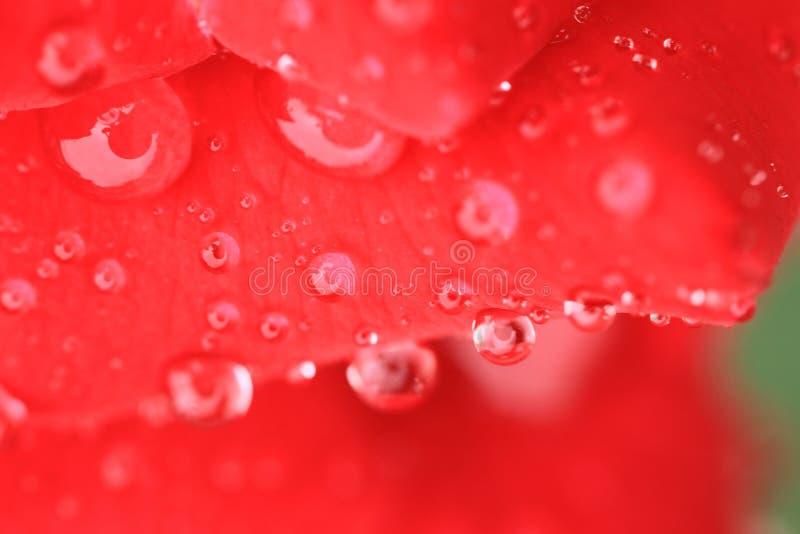 在红色玫瑰花瓣降露 免版税库存照片