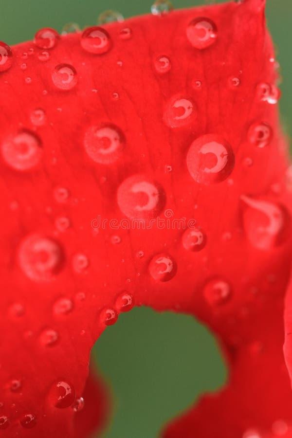 在红色玫瑰花瓣降露 免版税库存图片